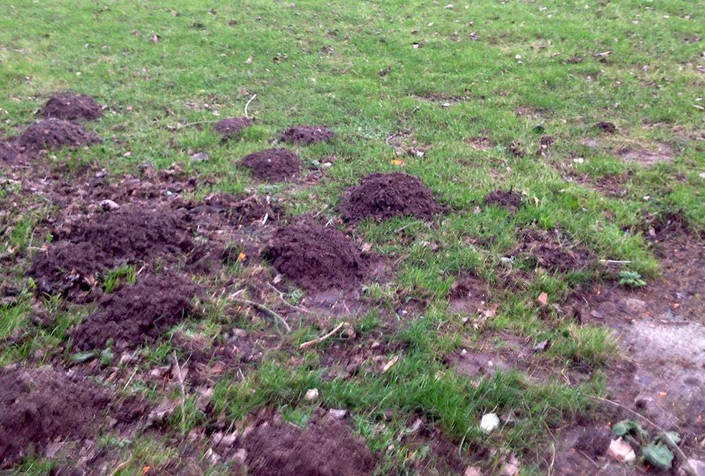 Taupe ? Le retour des dégâts dans nos jardins et pelouses !